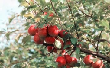 Pommes rouge