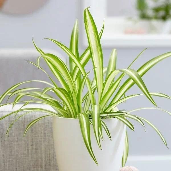 Chlorophytum, plante ornemental et dépolluante