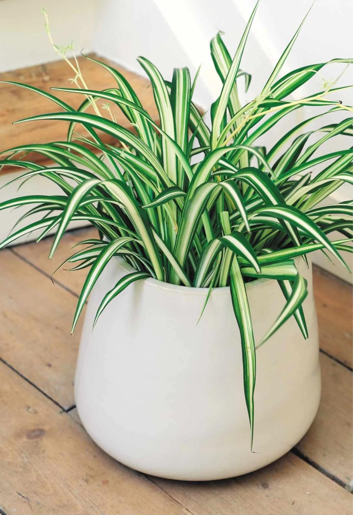 Plante d'intérieur : Chlorophytum