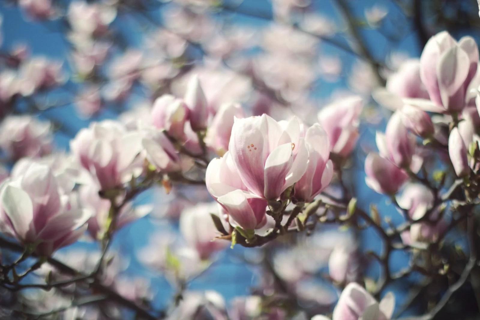 Pétales de Magnolias blanches et roses