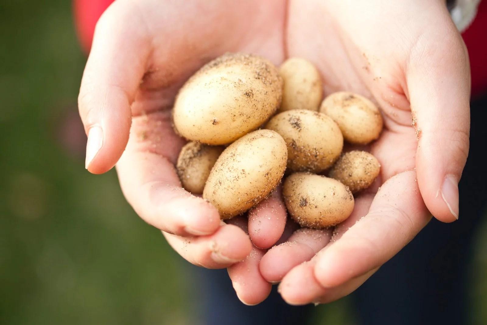 Pomme de terre dans les mains