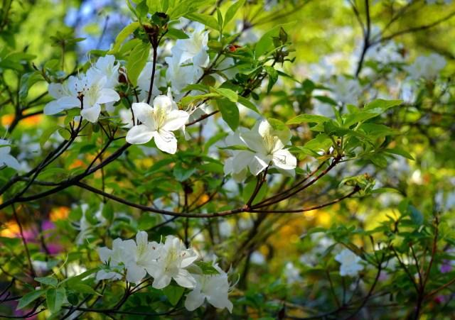 Rhododendron indicum (Azalée)