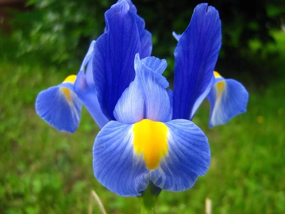 La fameuse Iris, une belle fleur bulbeuse