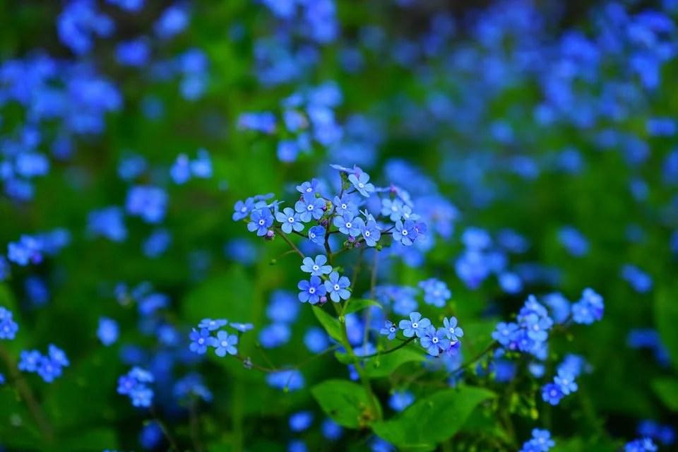 Myosotis, avec ces minuscules petites fleurs bleu