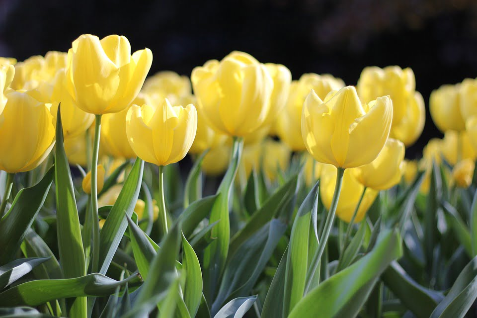 Tulipe de couleur jaune
