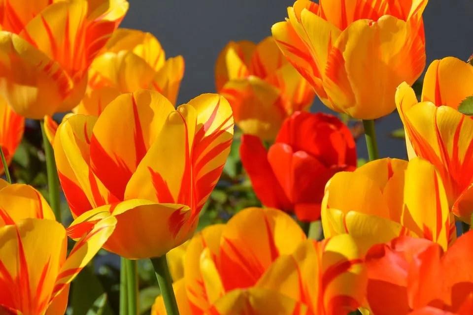 Tulipe pour décorer son jardin