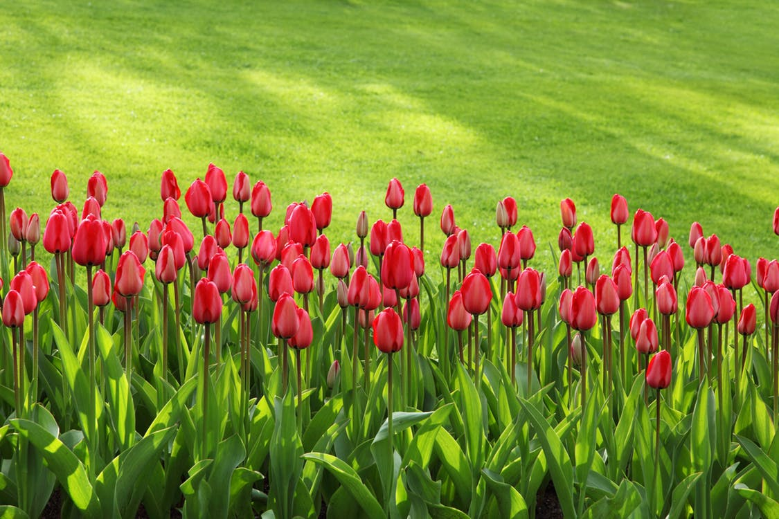 tulips bloom blossom colorful 47313