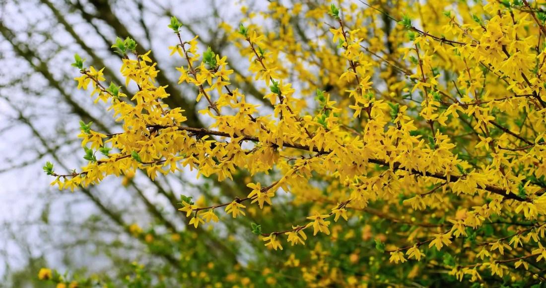 Forsythia, arbuste aux fleurs jaunes