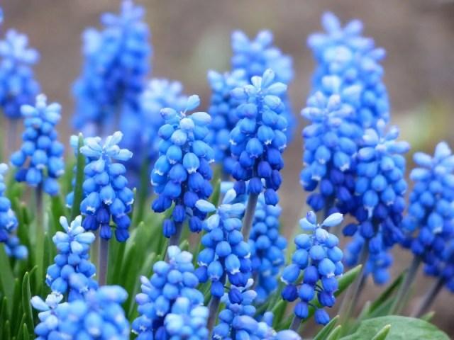 Muscari armeniacum bleuté