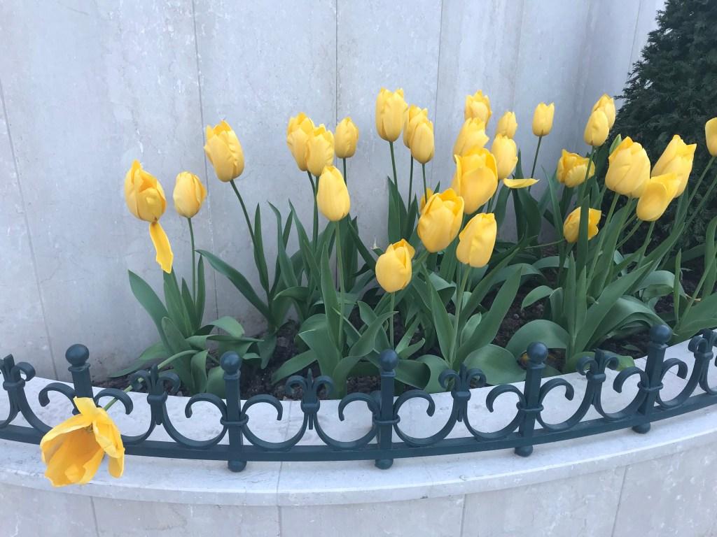 Tulipani nella piazza del Casinò
