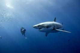 Diver Great White (Disney) @BLUE photo archives