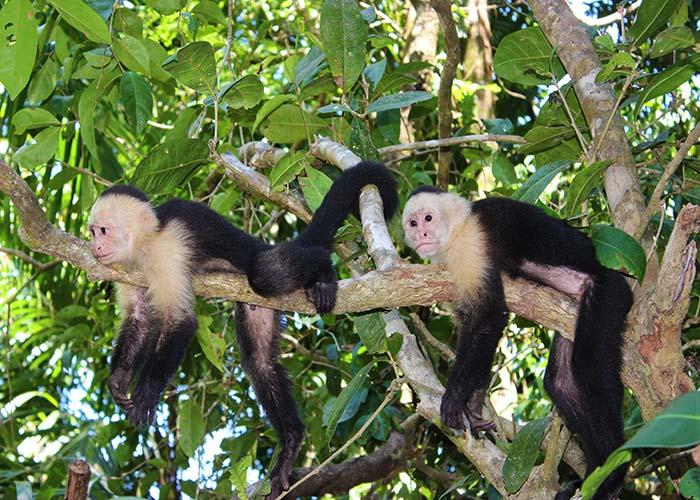 Manuel Antonio monkeys.jpg