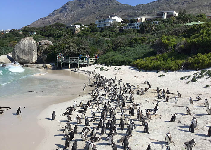 boulders beach penguins simons town.jpeg