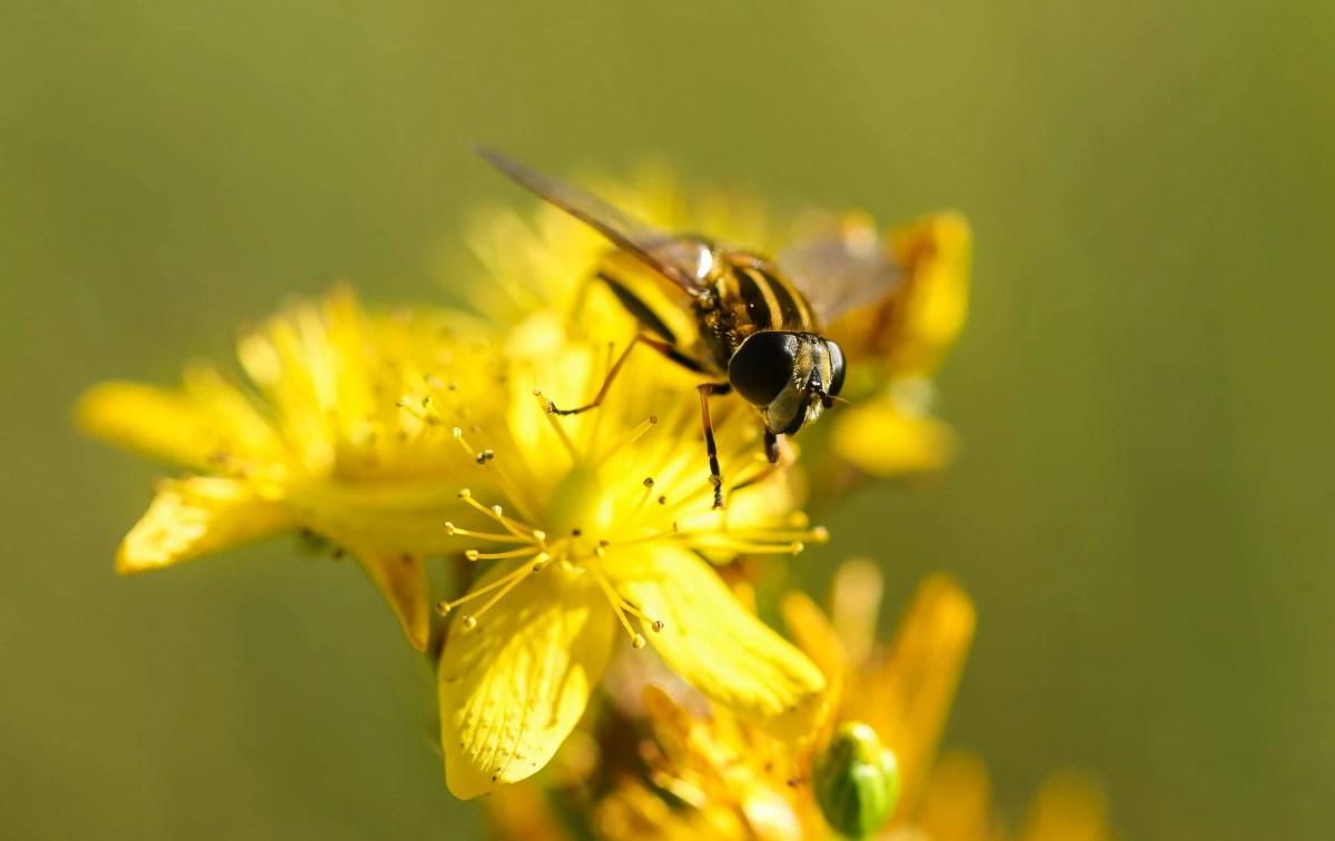 Summery Hornet