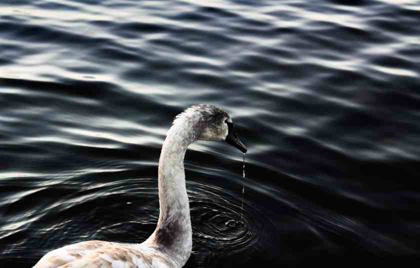 Swan in the lake