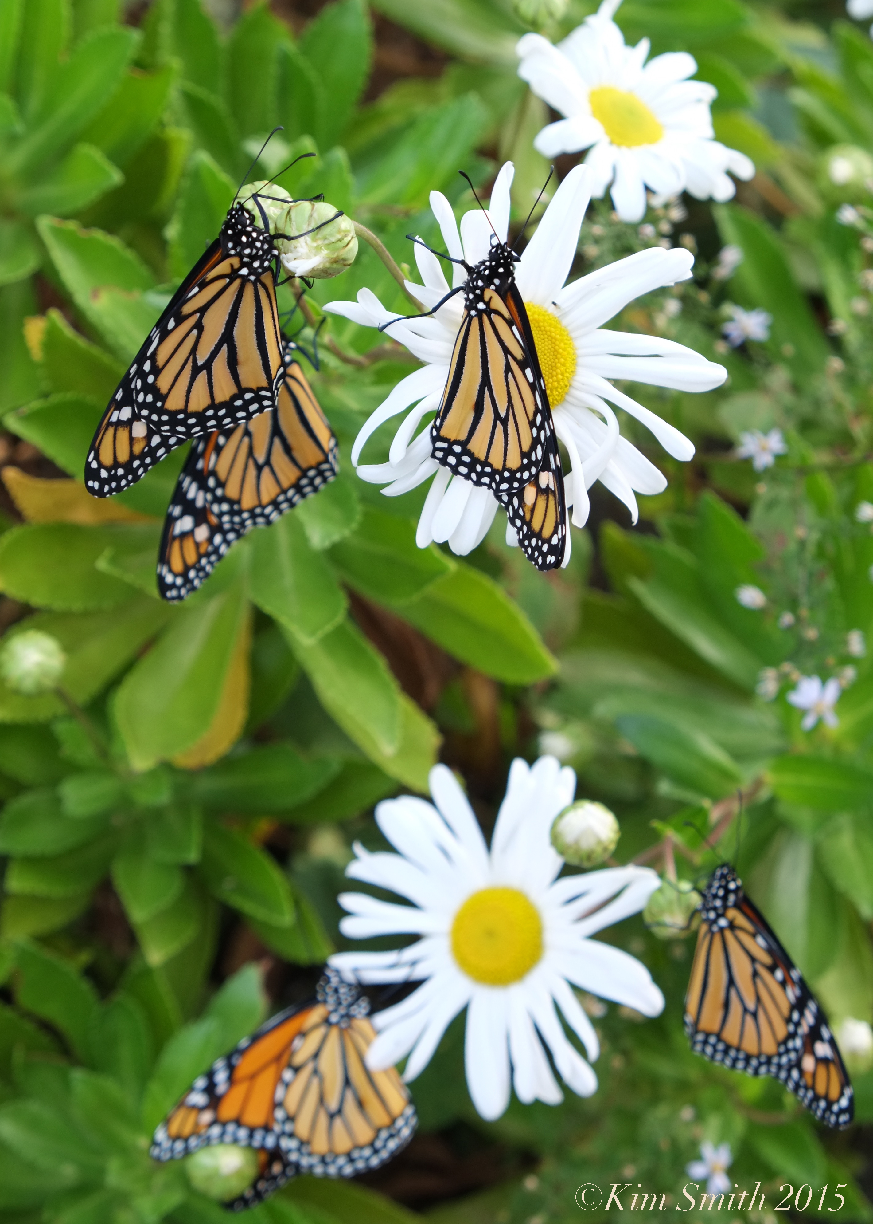 Monarch Butterfly In Crisis