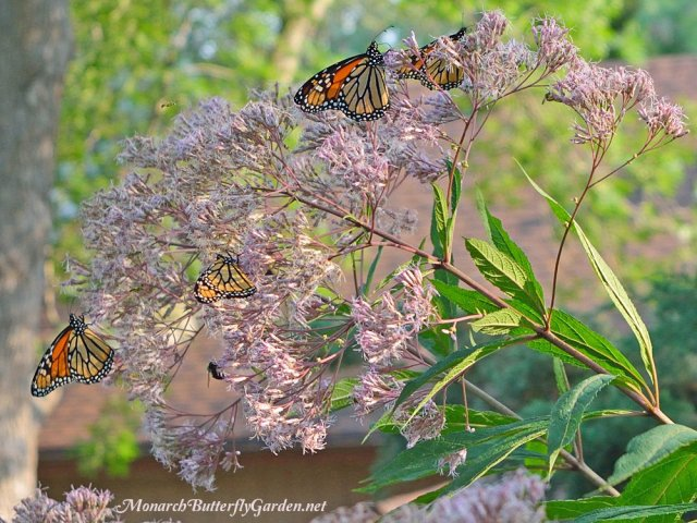 butterflies and joe pye weed