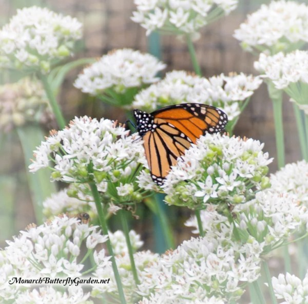 butterfly garden plants flowers Fall Planting Butterfly Plants for Next Season's Monarchs