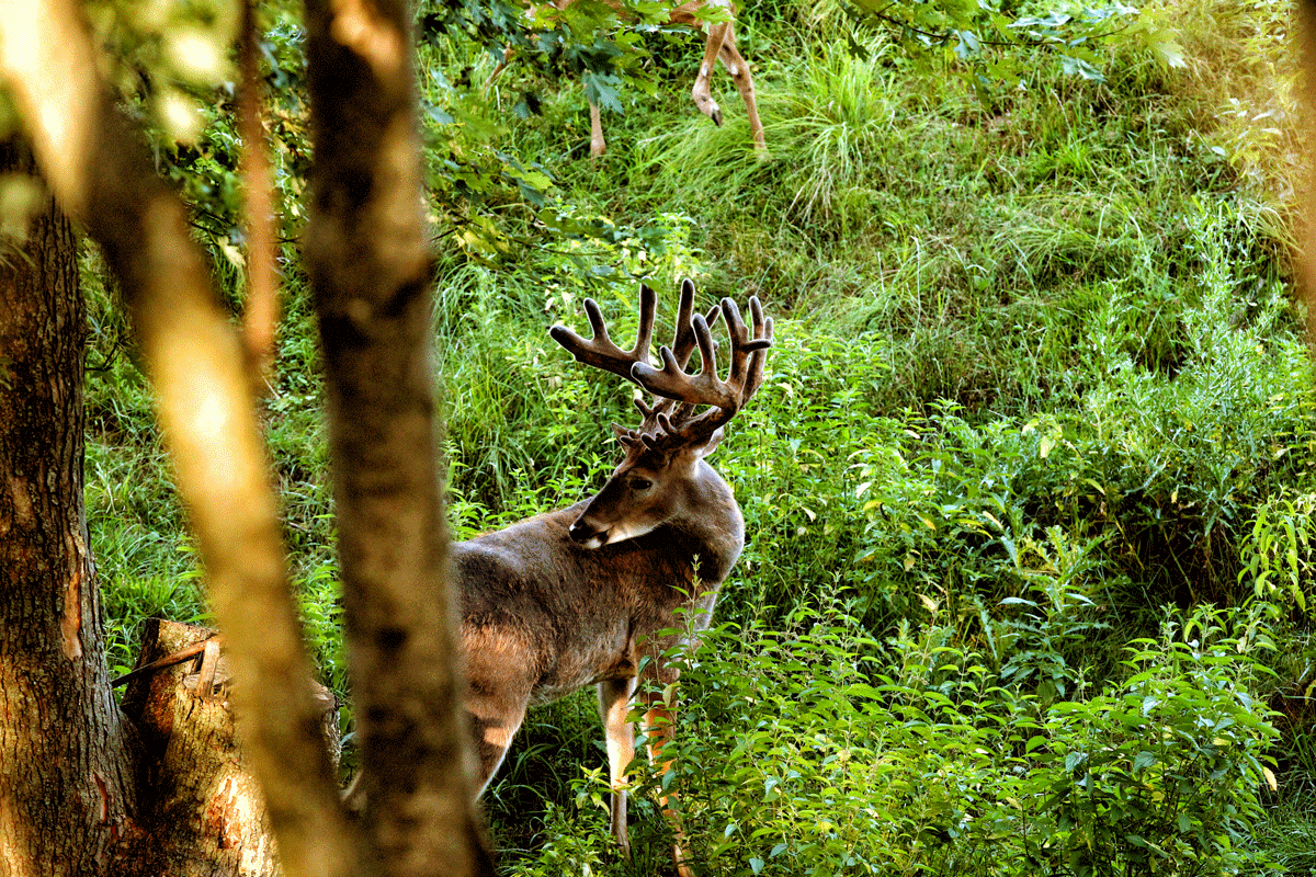 A large, typical-antlered buck in shrubs