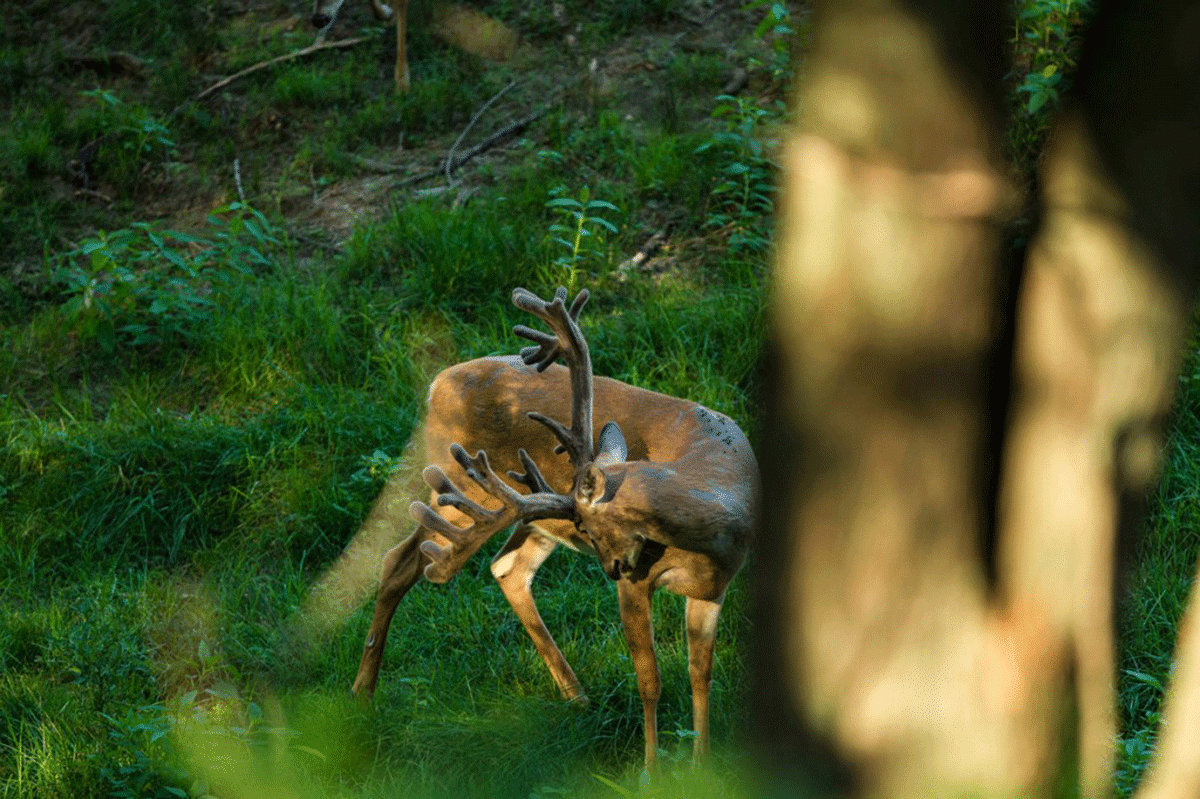 A massive, wide antlered buck
