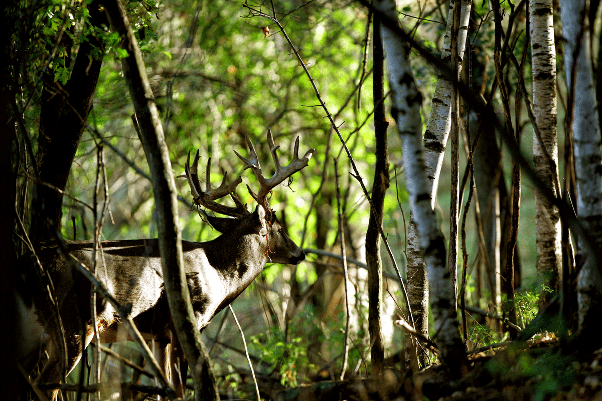A buck with rut in his antlers walking through the woods