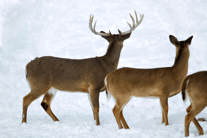 A family of whitetails in a snowy field