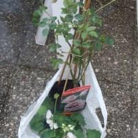Plantation d un rosier grimpant en pot...2