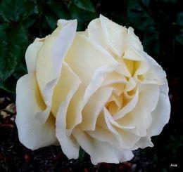 rose-blanche-sous-la-pluie