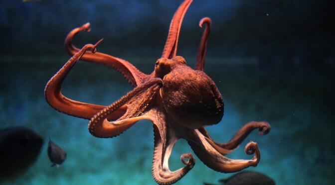 ADN de la pieuvre, le poulpe un Alien ?