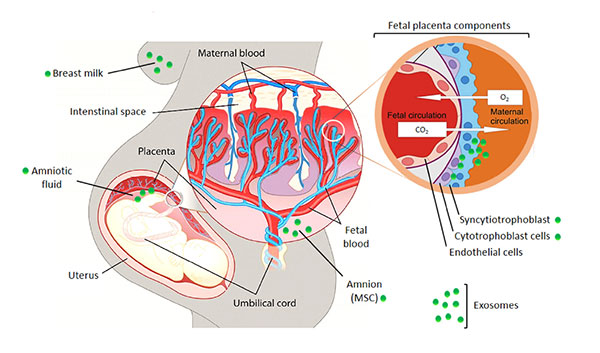 circulation sanguine durant la grossesse