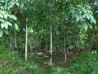 Plantations d'Hévéa en Côte d'Ivoire