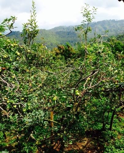 Serunya Wisata Agro Petik Apel Malang (3/3)
