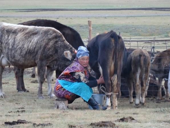 Song Kul Host Milking Cow