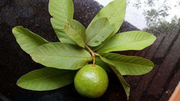 ورق الجوافة وفوائده للطفل