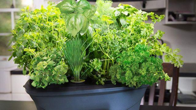 The AeroGarden grows fresh produce in your kitchen.
