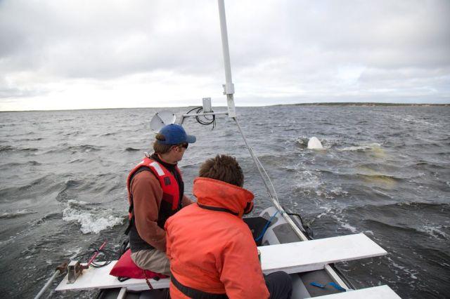 Beluga whales behind a beluga boat.