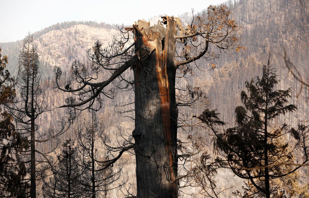 A giant Sequoia burned and