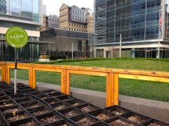 In 2011, Riverpark Restaurant teamed up with the Alexandria Center for Life Science to establish Riverpark Farm, an urban garden which supplies fresh ingredients to the restaurant and inspires sustainable agriculture in the heart of Manhattan.