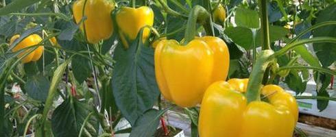 Бизнес-идея: Выращивание перцев в теплице
