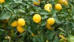 Бизнес идея: Выращивание лимонов