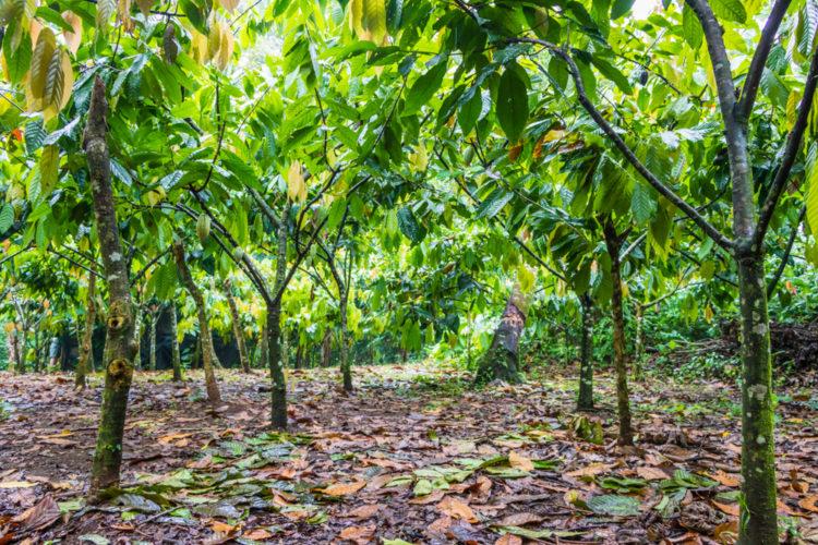 Cocoa Plantations