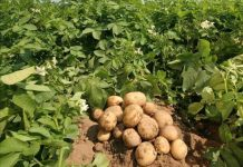 Vicampro potato farm in Jos, Nigeria