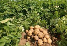 Vicampro potato farm in Jos, Nigeria