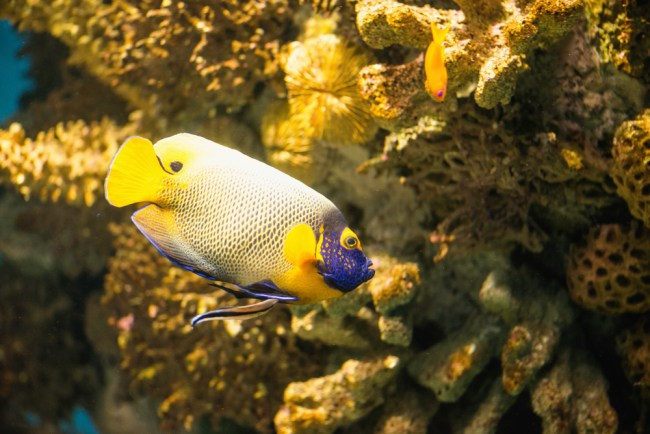 most expensive fish angelfish