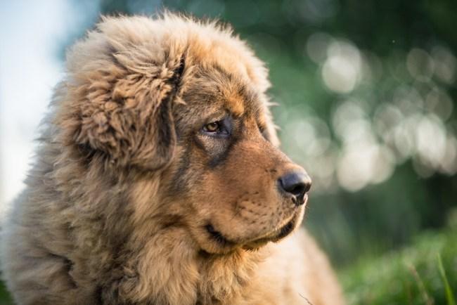most expensive dog breed Tibetan Mastiff