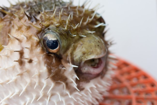 What is the most expensive fish you can eat money nation for Puffer fish price