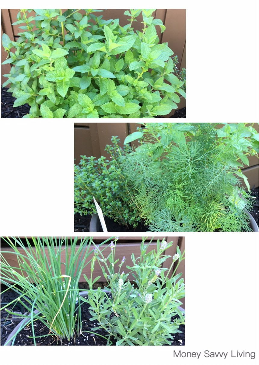 Herb Garden | Money Savvy Living