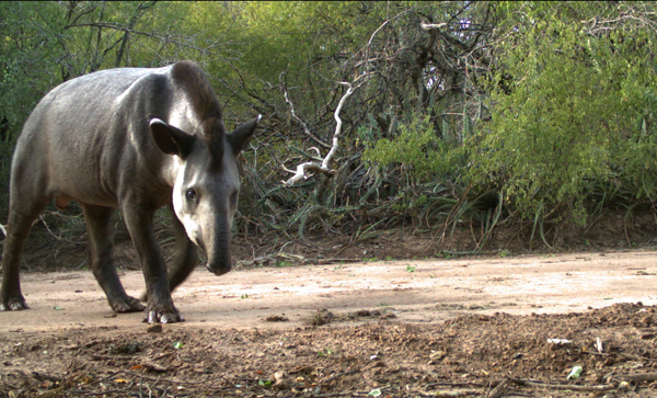Tapir (Tapirus-terrestris) in dry chaco forest from La Fidelidad Argentina.
