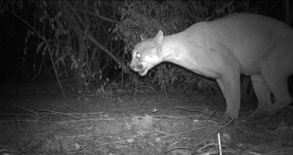 A puma (Puma-concolor) marking its territory on the banks of the Bermejo River in La Fidelidad.