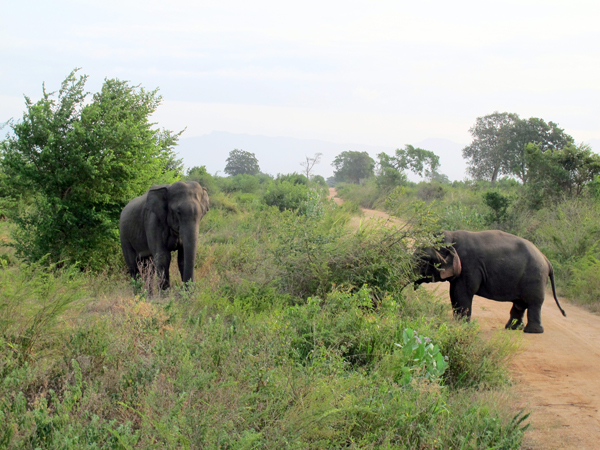 Dwarf elephant in an encounter with another male. Photo by Brad Abbott.